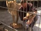 Zoobesitzer lebte wochenlang im Löwenkäfig (Vorschaubild)