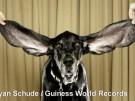 Hund Harbor stellt Weltrekord mit seinen Ohren auf (Vorschaubild)