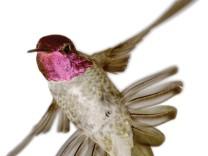 Kolibris lassen ihre Schwanzfedern singen