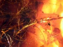 Federn von Dinosauriern und Vögeln in Bernsteinen gefunden