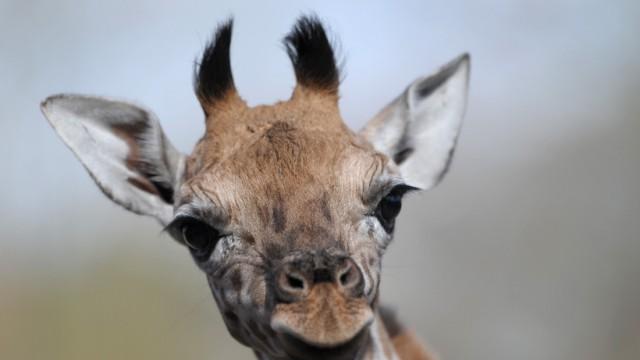 Giraffenbaby wagt erste Schritte