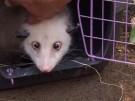 Schielendes Oppossum Heidi ist tot (Vorschaubild)