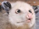 Opossum Heidi ist tot (Vorschaubild)