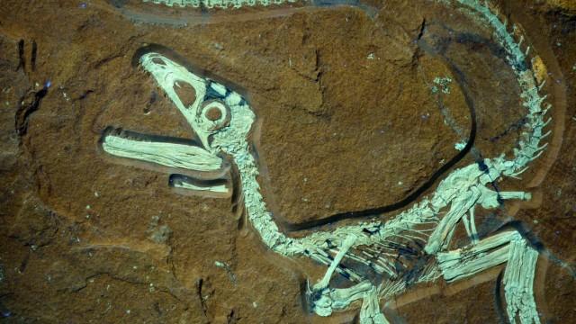 Versteinerter Raubsaurier