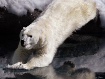 A polar bear jumps into water at the St.Felicien Wildlife Zoo in St. Felicien