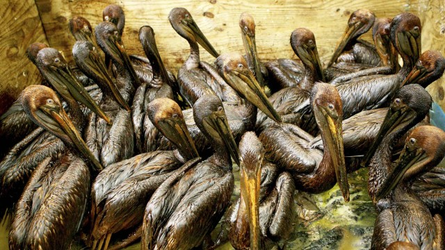 File photo shows pelicans covered in oil from the Deepwater Horizon gulf oil spill sitting in a pen waiting to be cleaned at a rescue center facility in Fort Jackson, Louisiana
