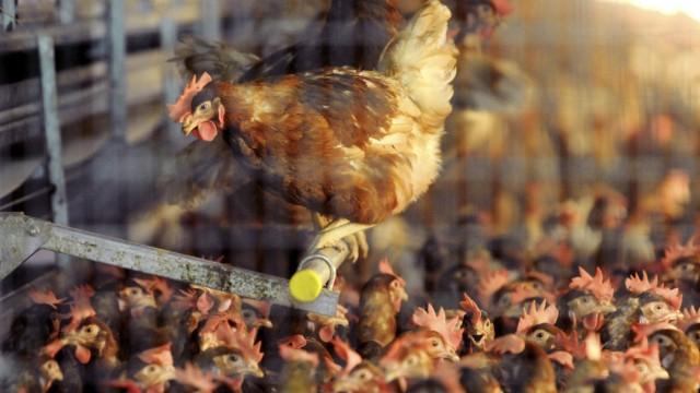 Massentierhaltung Studie kritisiert Geflügelzüchter