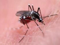 Dengue Moskito