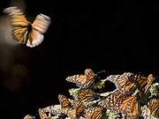 Monarchfalter, AFP