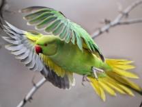 Wildlebende Papageien in Düsseldorf