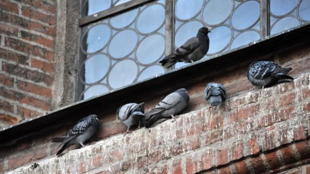 Tauben Vogel-Plage in der Landeshauptstadt