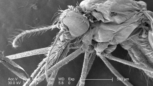 Artenarme Bakterienfauna der Haut zieht Stechmuecken an