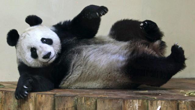 Pandagate Panda als weibliches Gesicht 2011