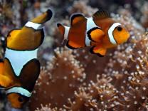 Clownfisch im Tropen-Aquarium