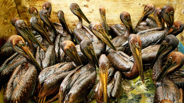 Oiled pelicans sit in a pen waiting to be cleaned at a rescue center facility set up by the International Bird Rescue Research Center in Fort Jackson