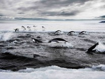 Adeliepinguine in der Antarktis