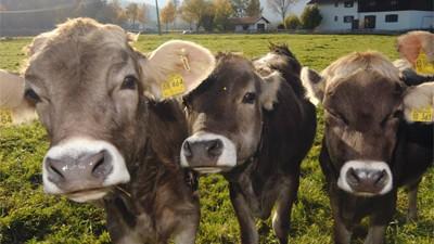 Klima Kühe und ihre Methan-Bilanz