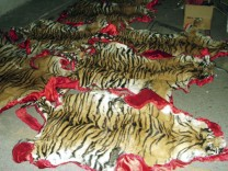 Tiger skins are laid on the floor after they were seized in Kota Star