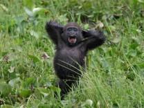 Undated handout of a baby western lowland gorilla silverback