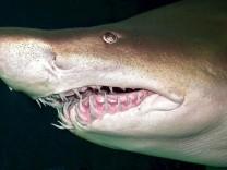 Einer der ältesten Haie der Welt in New York mit 43 gestorben