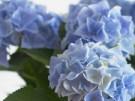 Blauer Dunst (Bild)