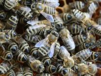 Rechtsstreit um Gentechnik im Honig