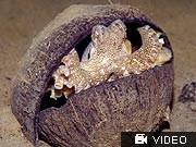 Oktopus in Kokosnuss, AFP