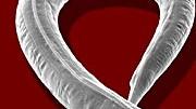 Fadenwurm C. elegans