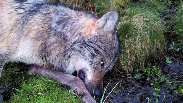Wolf im Westerwald erschossen