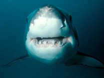 Undated picture of a great white shark