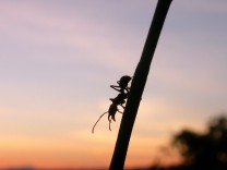Ant of genus Ectatomma forages at Project Amazonas field station in Peru at sunset