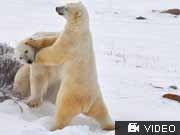 Eisbären Churchill, bilu