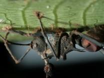 Pilz befällt Ameise