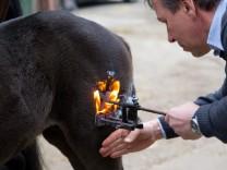 Brandzeichen-Verbot für Pferde in der Diskussion