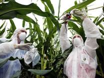 Gentechnik; Forscher in einem Maisfeld;