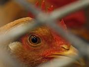 Huhn, Symbolbild, Reuters