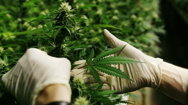 Riesige Cannabis-Plantage entdeckt