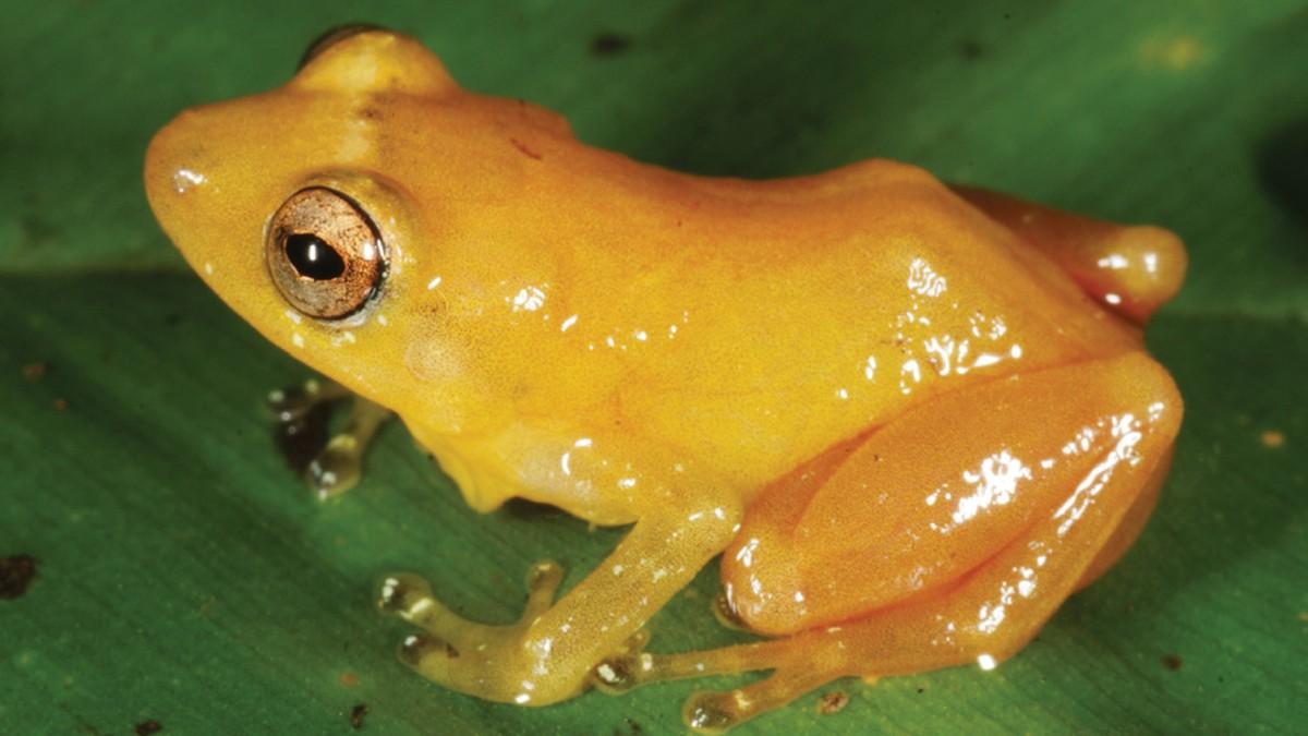 Neue Art entdeckt - Frosch färbt ab - Wissen - Süddeutsche.de