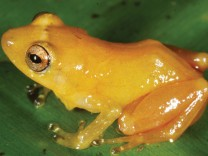 Neuentdeckter Frosch verliert gelbe Farbe