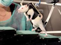 Gelähmte Ratte kann Beine bewegen