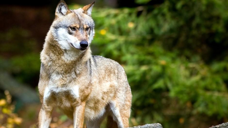 Oberhaupt von Brandenburgs einzigem Wolfsrudel tot