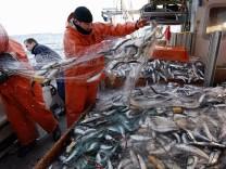 Fischerei, Überfischung - Heringssaison im Greifswalder Bodden