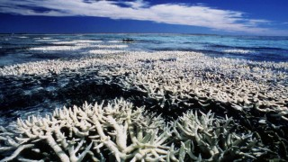 """Korallenbleiche am Great Barrier Reef vor der Küste Australiens. Die Erderwärmung wird dazu führen, dass die meisten Korallenriffe der Welt in den nächsten Jahrzehnten """"erbleichen"""" werden."""