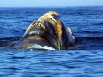 Wal im Fischernetz verfangen