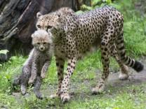 Junger Gepard aus Nuernberger Zoo ausgebuext
