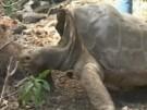 """Riesenschildkröte """"Lonesome George"""" gestorben (Vorschaubild)"""