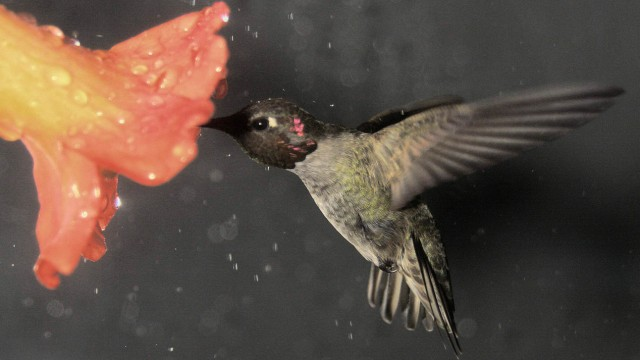 Flug von Kolibris im Regen
