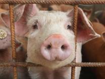 Schweinegrippe - Schwein auf Bauernhof