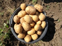 Ernte von Bio-Kartoffeln