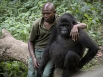 Berggorillas im Kongo